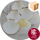 Sea Shells - Atlantic Scallop - 100 Pack